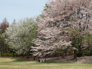 ①桜1.jpg