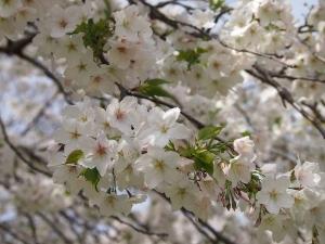②桜2.jpg