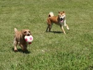 ⑨ディオン&柴犬.jpg